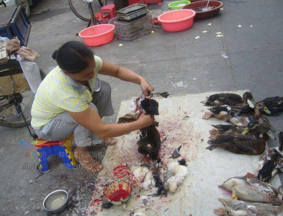 美女宰鸡图片_2分钟 杀鸭 全纪录,略带血腥