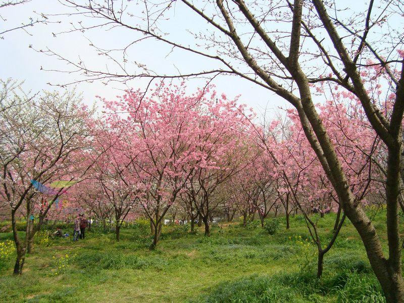 武汉东湖磨山风景区樱花园