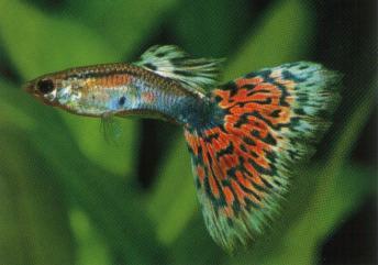 可爱 孔雀鱼/孔雀鱼,非常小,也好养,还会生一堆的小宝宝,一只3RMB。