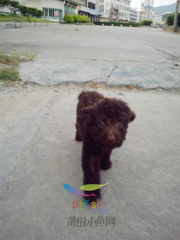 巧克力 转让 小狗/因为家里的母狗要生小狗了,没有时间精力去照顾小家伙,因此转让...