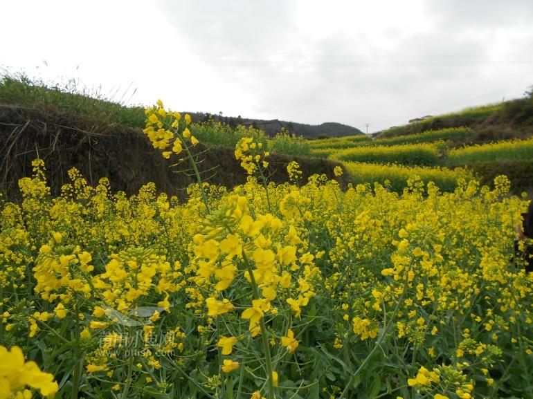 油菜花丛中的南少林 镜头里的莆田