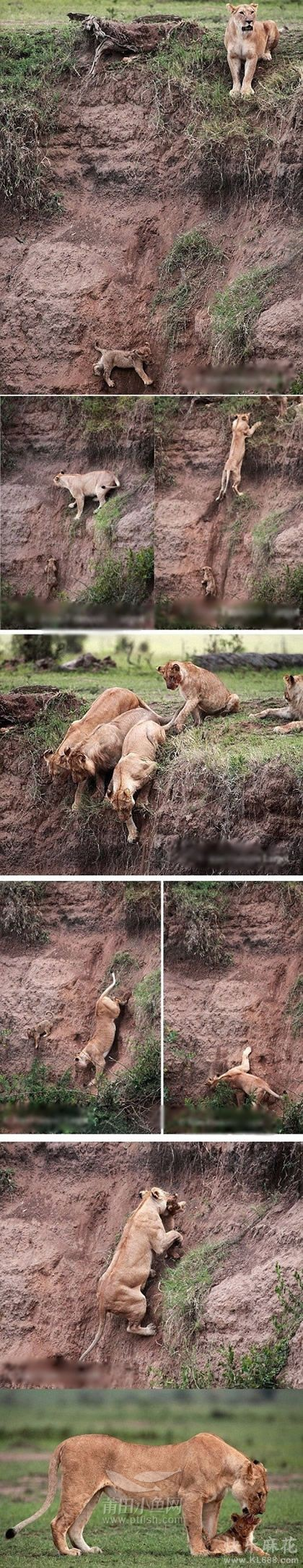 小狮子救援行动