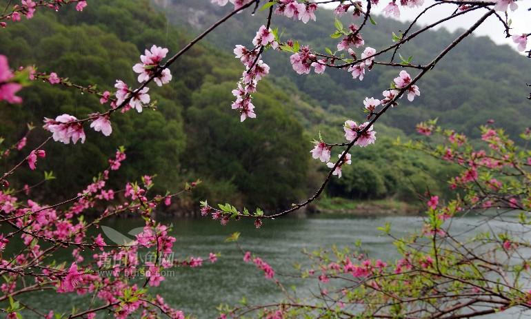 春天花儿开--莆田桃花