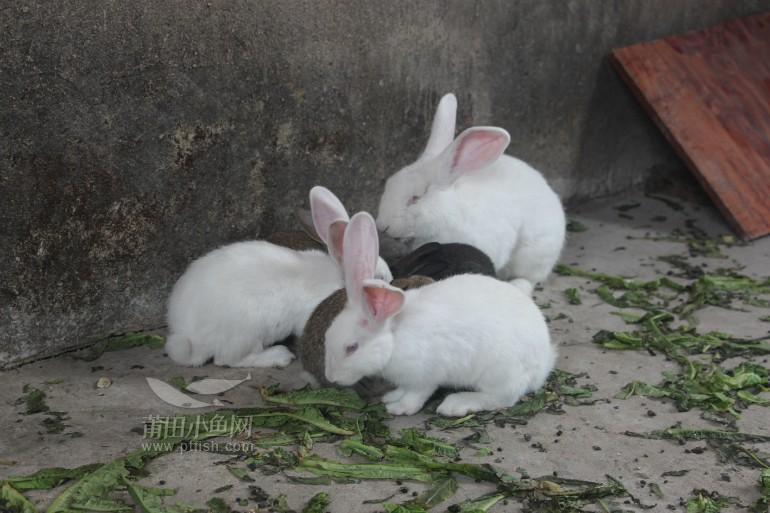 刚断奶的小兔子一只20元,中兔子一只40元,有意联系,微信号lilihua