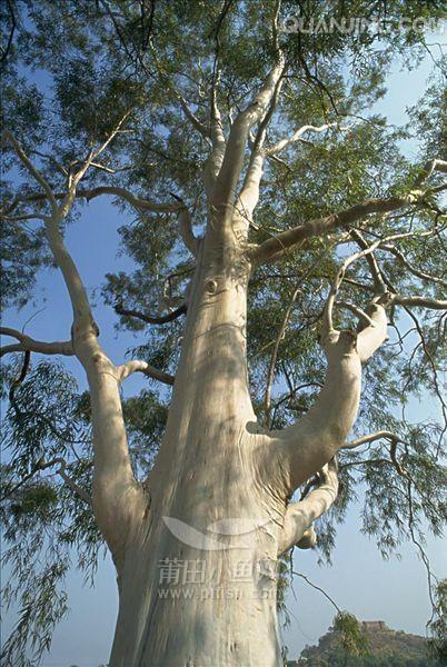 五十年桉树出售