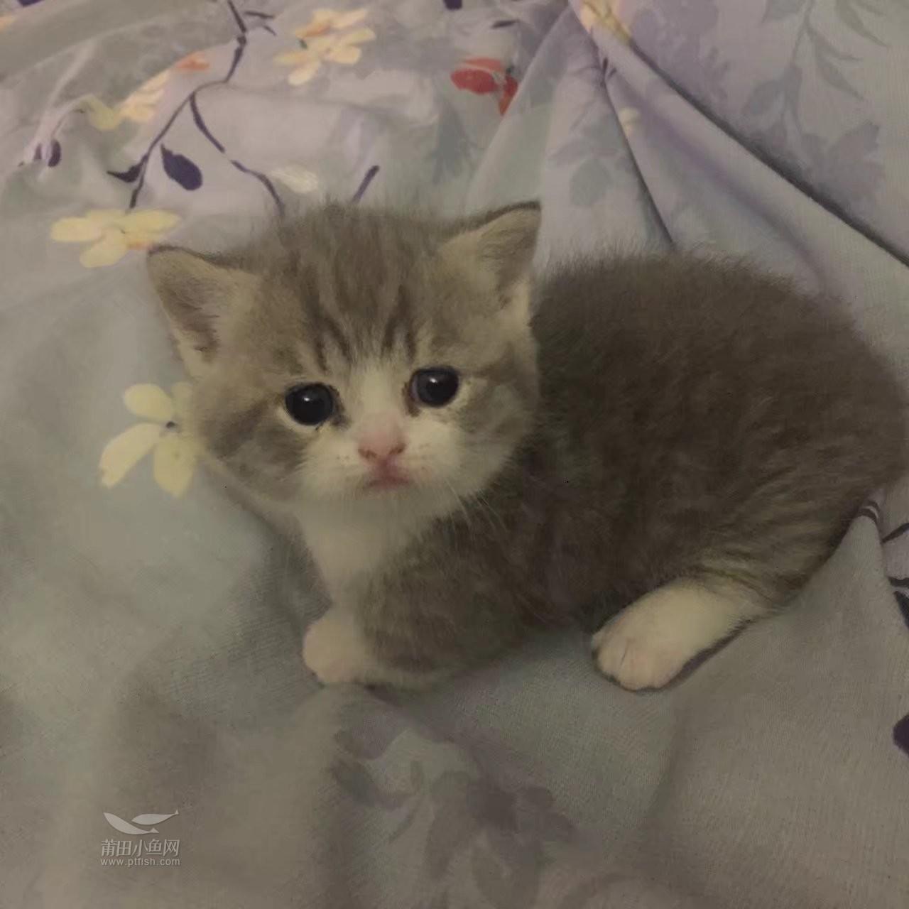 科学饲养环境与饮食   因为专业   所以小猫各个甜美可爱   不易生病